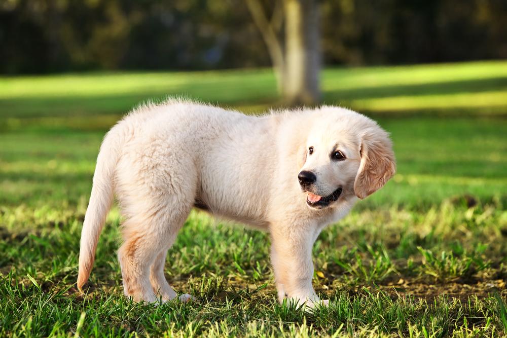 best food for golden retriever puppies