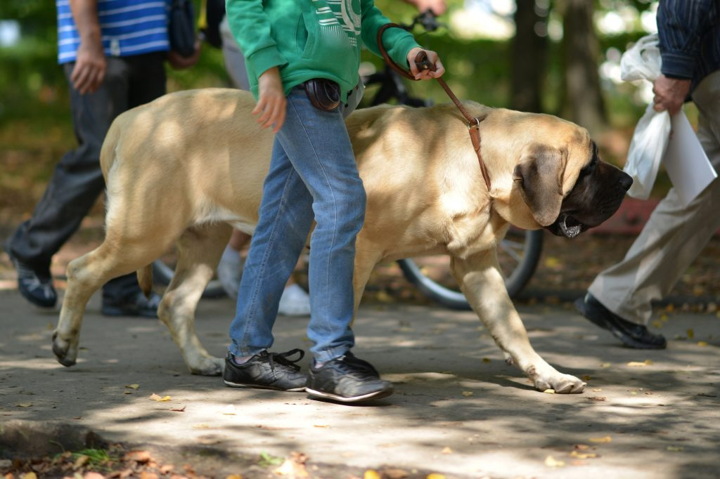 english mastiff personality