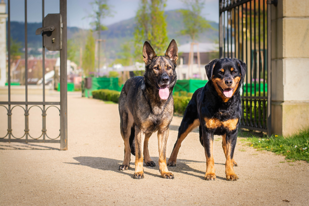 german shepherd and rottweiler