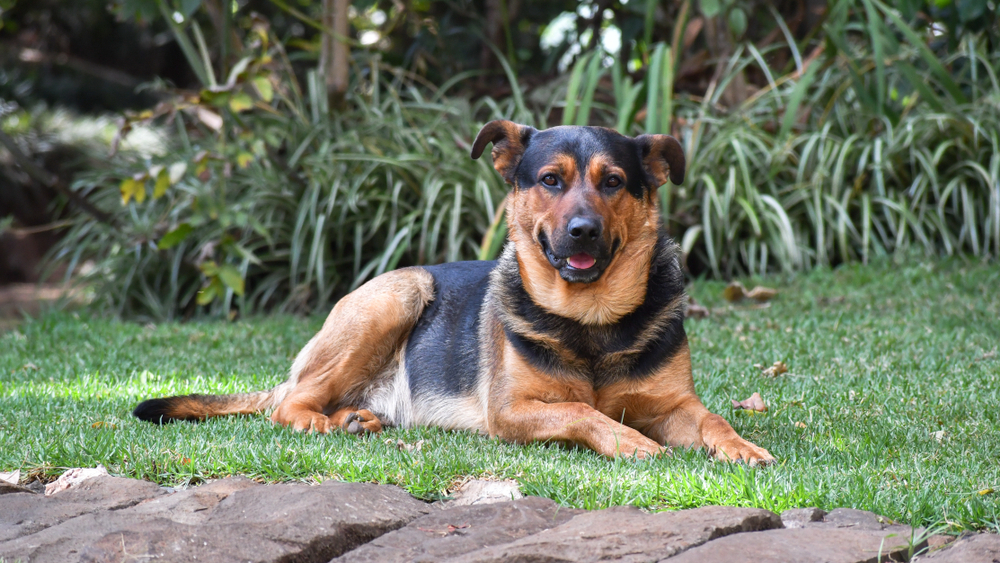 german shepherd rottweiler mixed