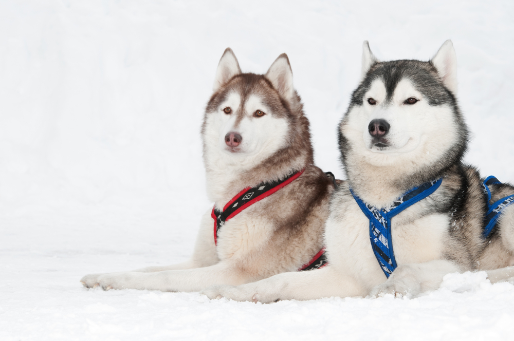 two siberian husky dogs
