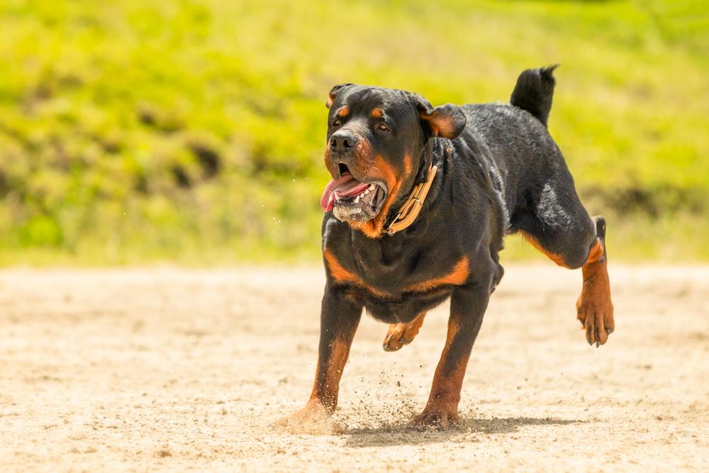 Rottweiler dog exercising