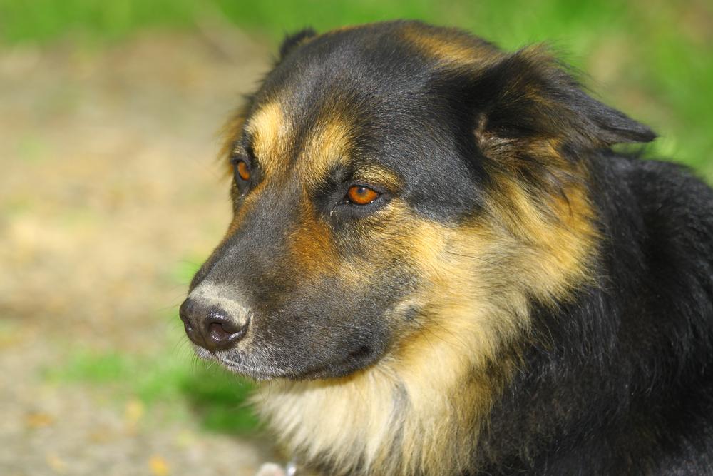 rottweiler german shepherd mix