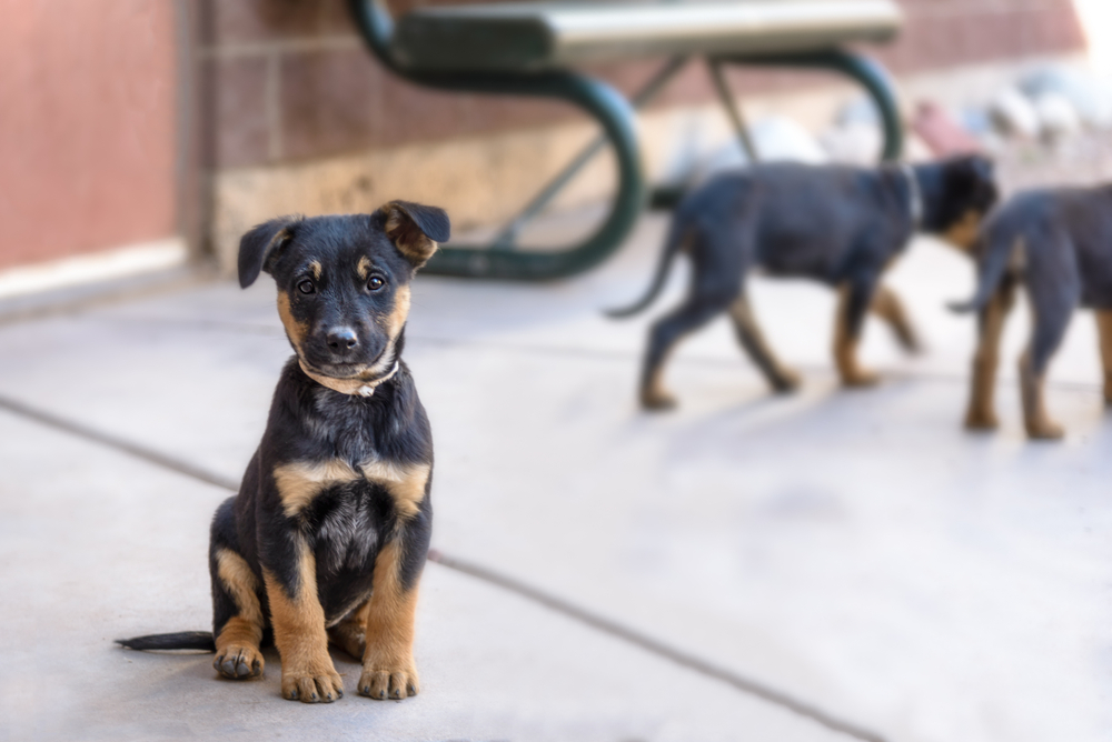 shepherd rottweiler mix puppy