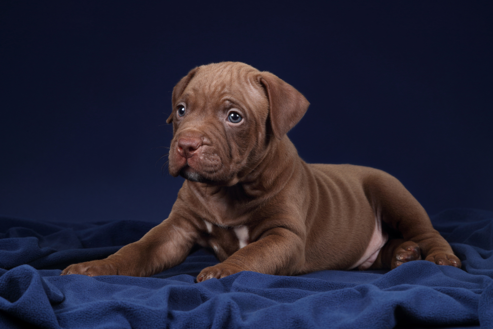 best food for pitbull puppies