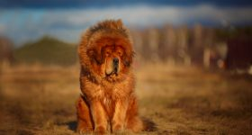 dogs that look like lions