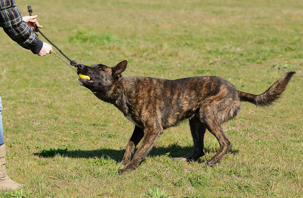 dutch shepherd bite force