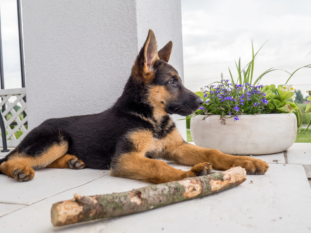 german shepherd puppy diet