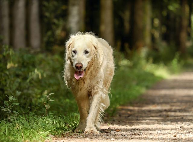 golden retriever dog looks like lion