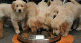 how much food for golden retriever puppy