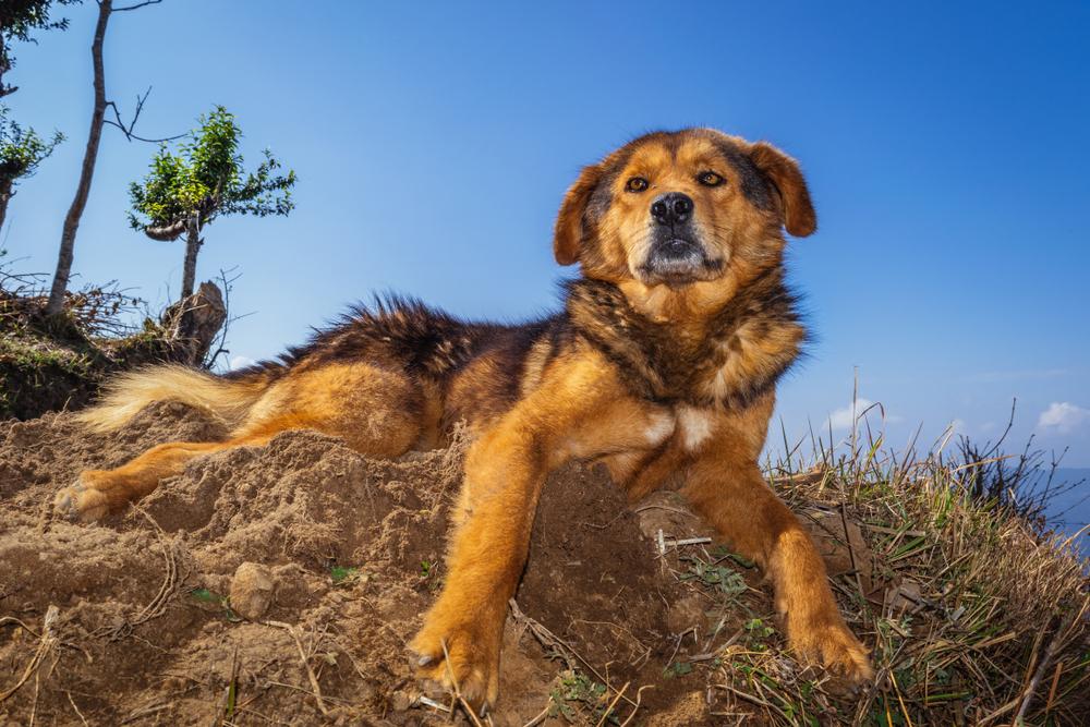 nepali mountain dog looks like lion