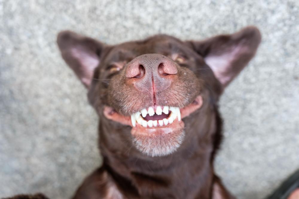 dog dental chew benefits