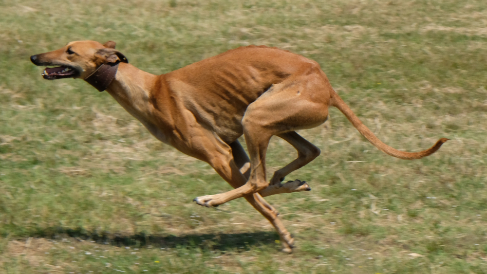 fastest dogs