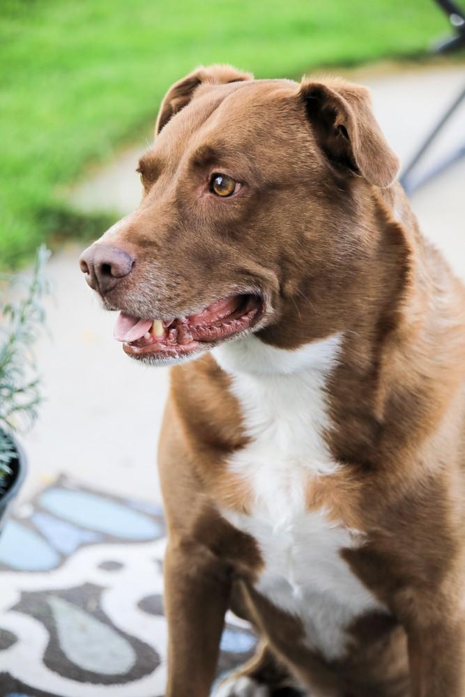 lab pitbull mixed breed