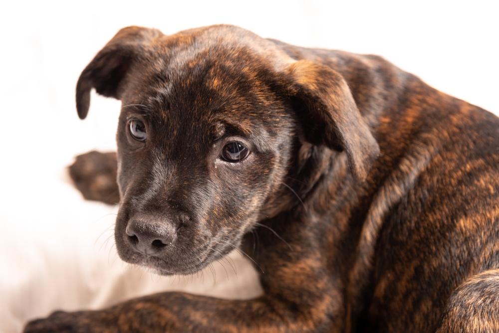 labrador pit mix puppy