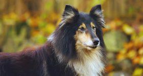 large long-haired dog