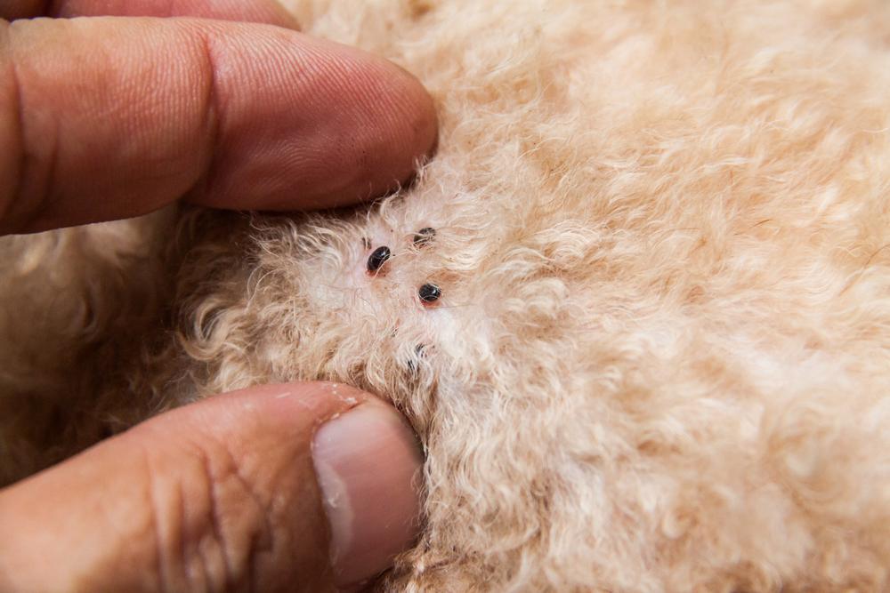 checking for dog fleas