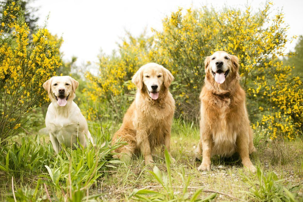 golden retrievers vs labs - which breed is best for you
