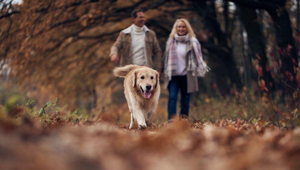 labrador retriever vs golden retriever - which is best