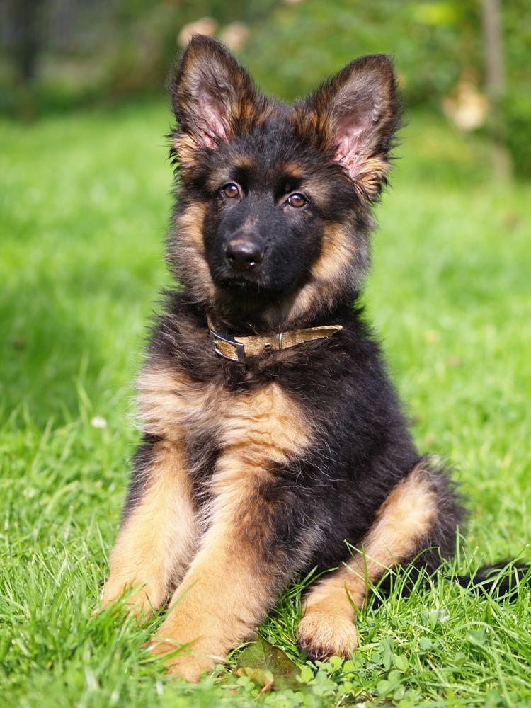 puppy german shepherd long hair