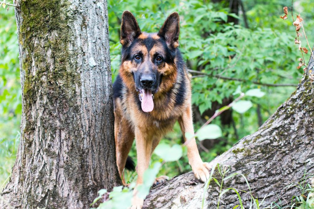 are german shepherds aggressive