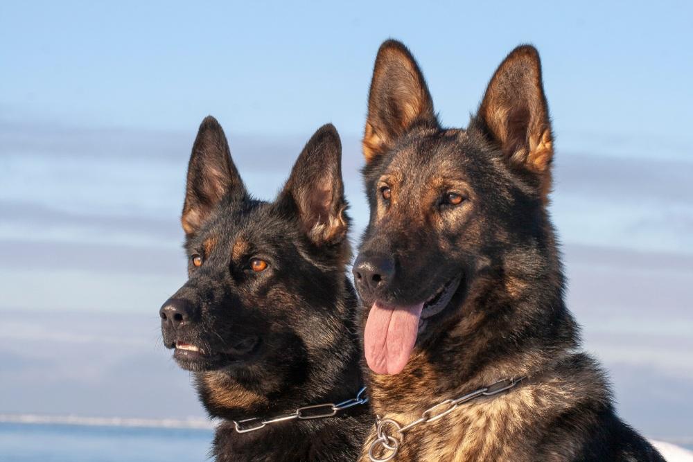 Best Collars for German Shepherds