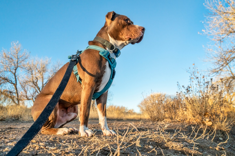 Best Harnesses for Pitbulls