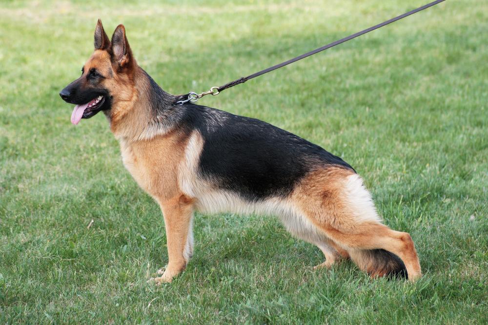 german shepherd behavior