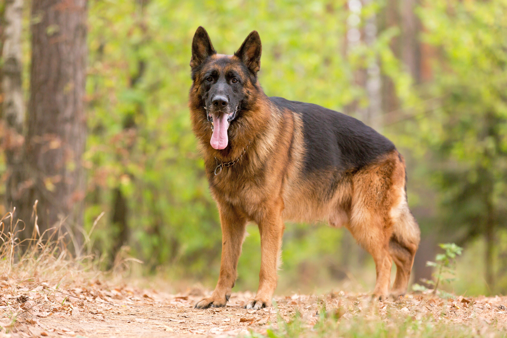 german shepherd weight and height