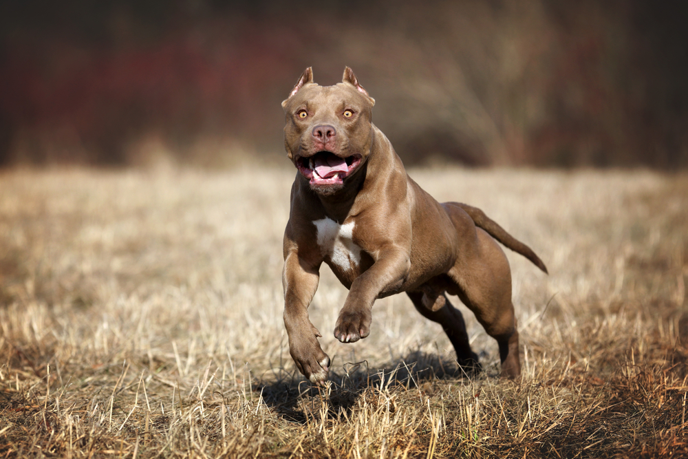 how big does a pitbull get