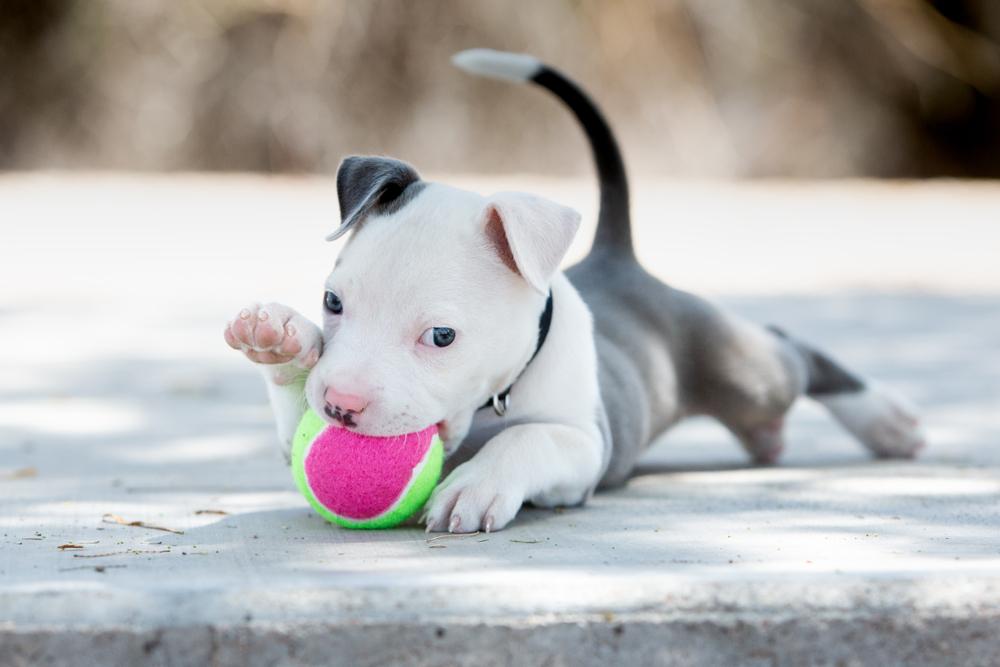 pitbull puppy growth