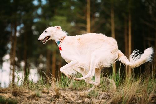 Borzoi fastest dogs in the world