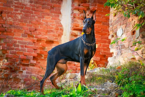 Doberman Pinscher list of giant dogs