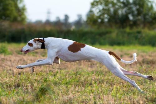Ibizan Hound fastest dog breeds