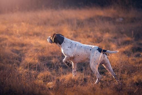 Pointer Dog Large Breed