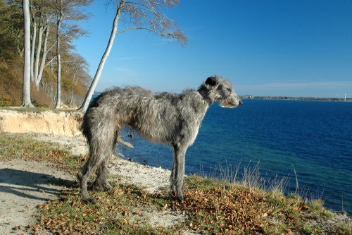Scottish Deerhound giant dog breeds list