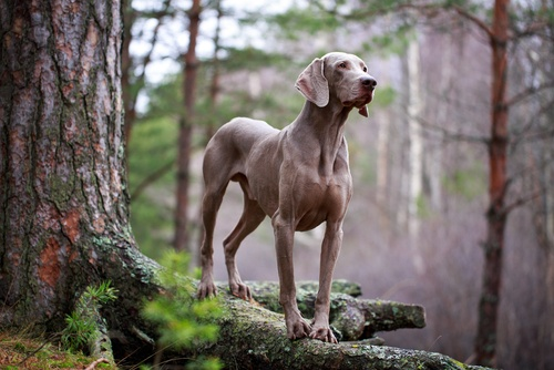 Weimaraner large dog breed