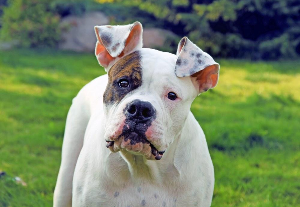 american bulldog appearance