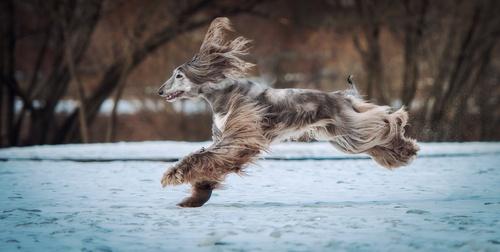 fast Afghan Hound