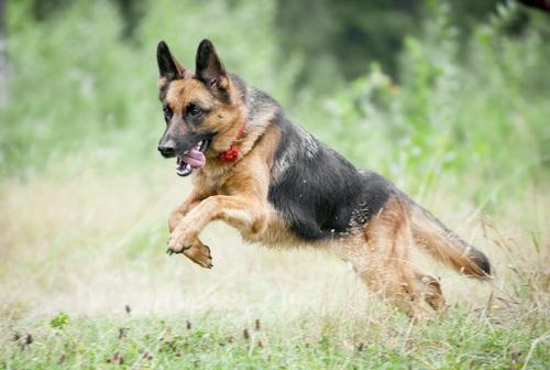 German Shepherd fastest dog breed