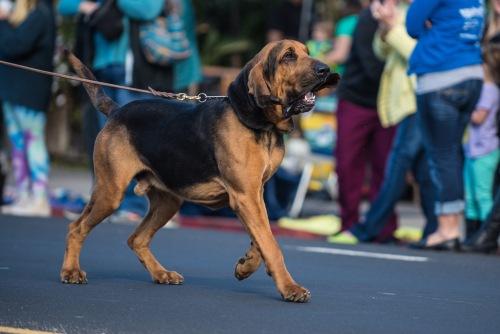 large bloodhound dog