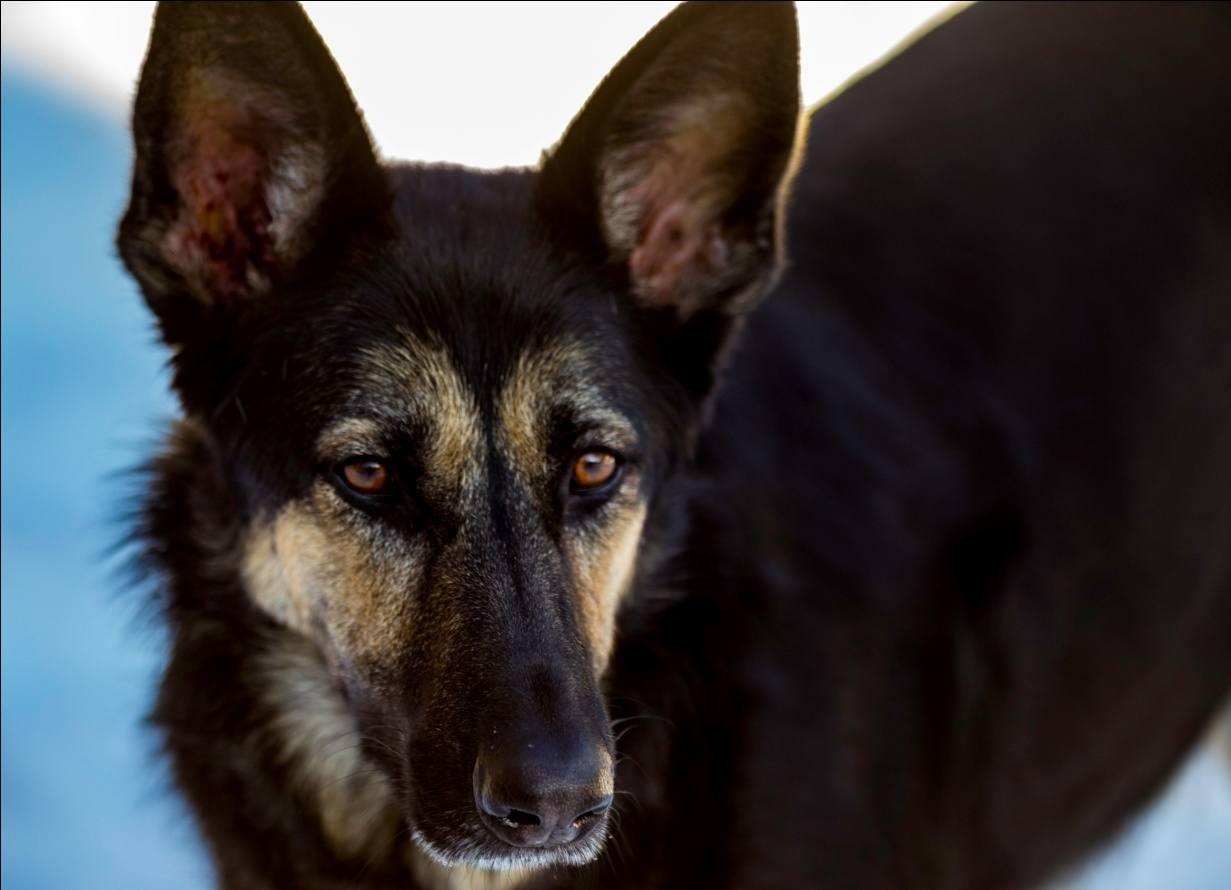 Bi-Color German Shepherd