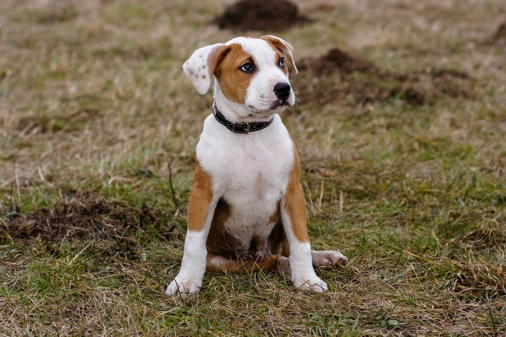 pitbull puppy names
