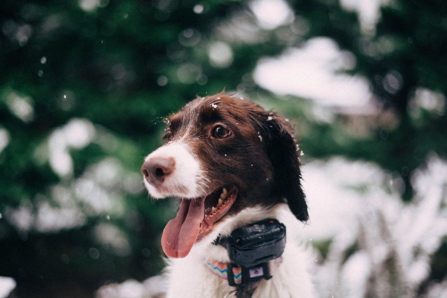 Best Dog Bark Collars for Training