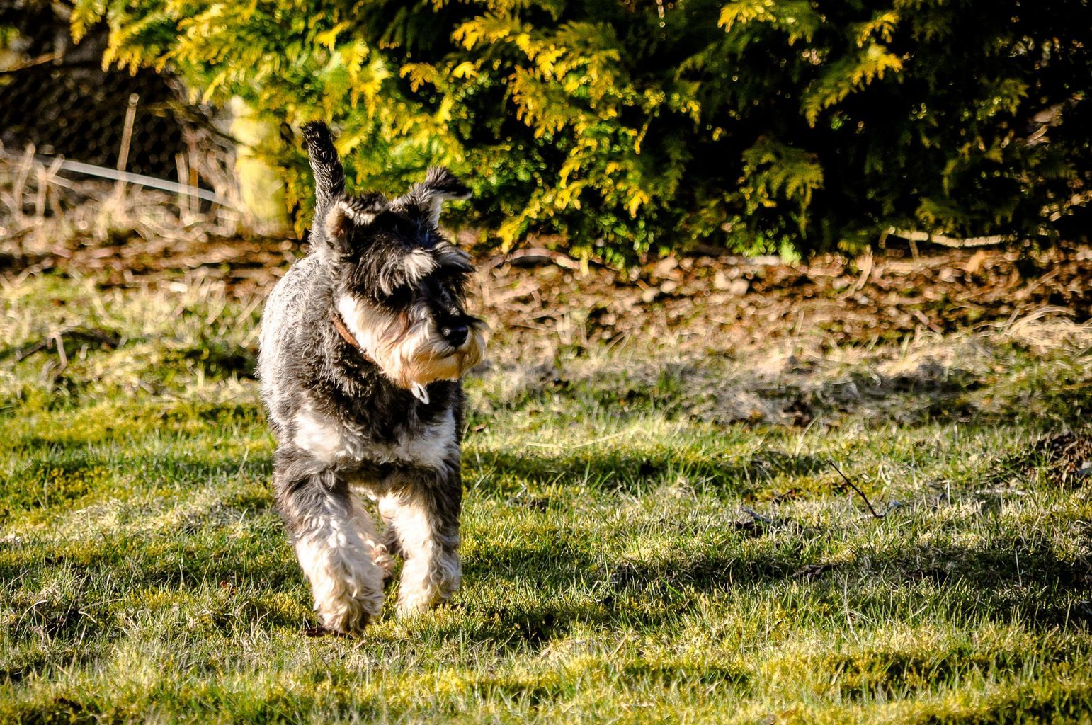 What is the Difference Between a Black Russian Terrier vs ...