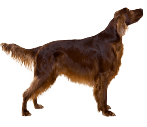 Irish Setter Poodle Mix
