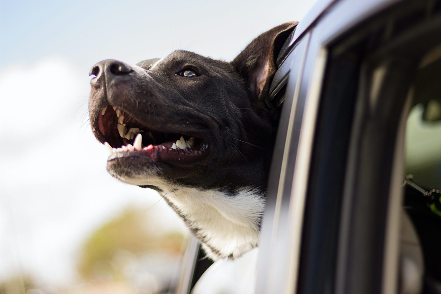 10 Best Car Seats for Large Dogs in 2020