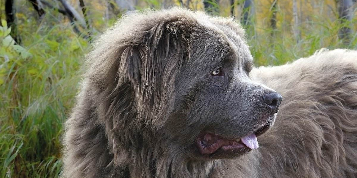 10 Best Extra-Large Dog Breeds