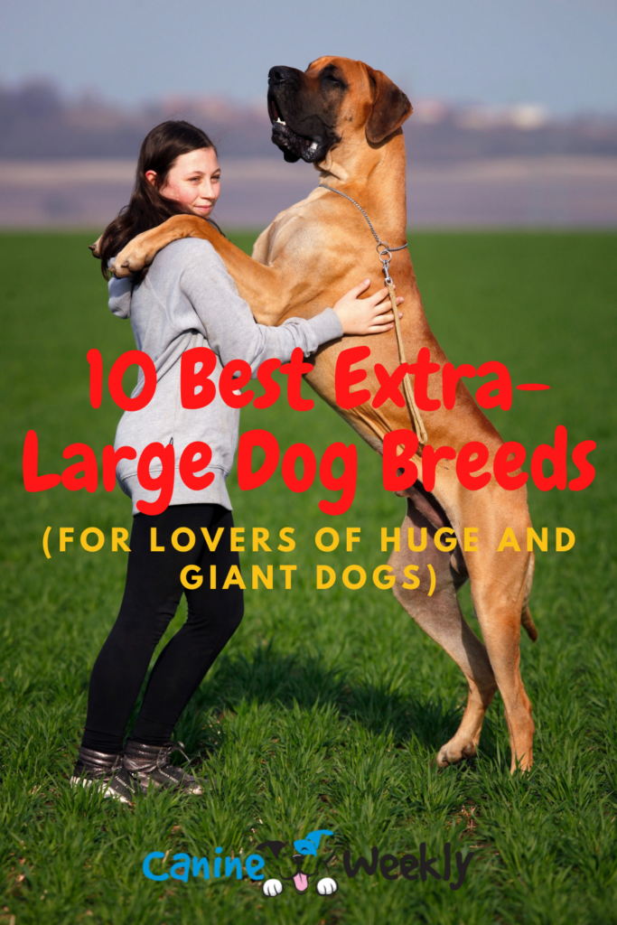 Best Extra-Large Dog Breeds