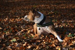 American Staffordshire Terrier 1282864_640